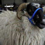 sheep-with-halter