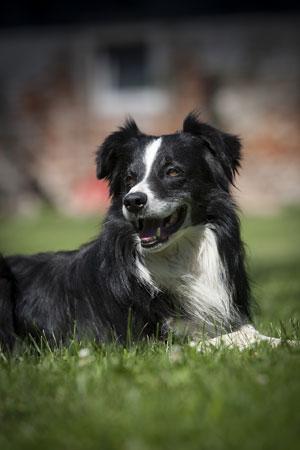 Border Collie Herding Dog