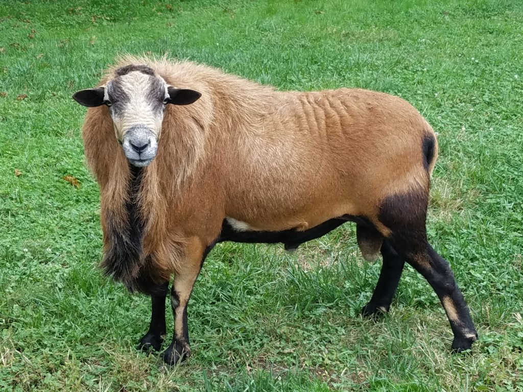 Barbados Blackbelly Ram