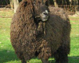 Black Leicester Longwool Sheep
