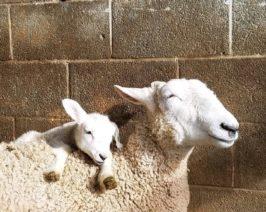 Border Leiceste Sheep