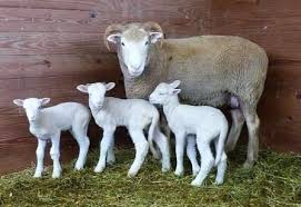 Horned Dorset Ewe with Lambs