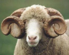Horned Dorset Ram