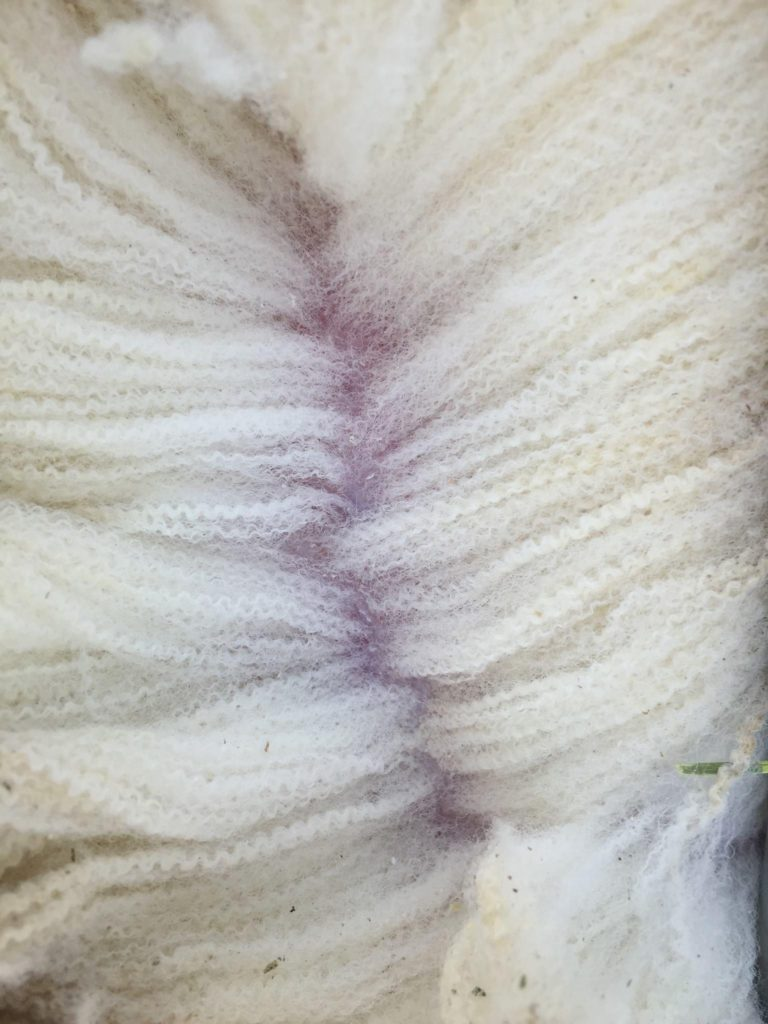 Polled Dorset Wool