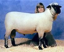 Shropshire Ram